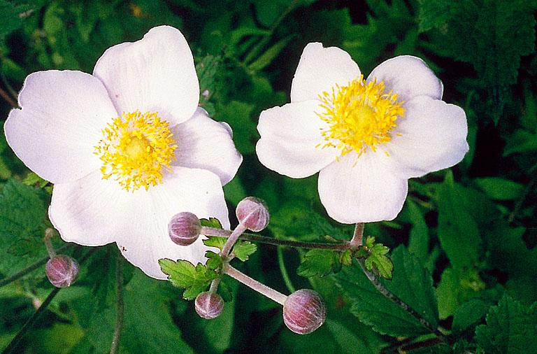 Anemone hupehensis in Flora of China @ efloras.org