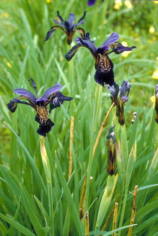 iris in flora of china  efloras, Beautiful flower