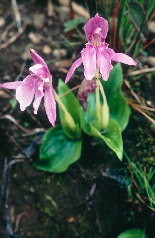 Заказ  на осень 2012.   Роскоя - Roscoea. Редкие растения. Цветы похожие на орхидеи. Show_image?image_id=894