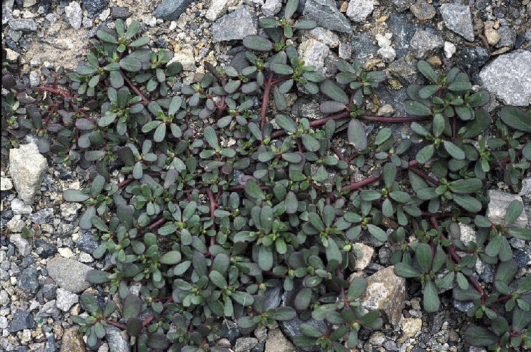 Portulacaceae in Flora of North America @ efloras.org